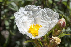 Gum rockrose, Cistus ladanifer Royalty Free Stock Photos
