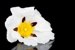 Gum rockrose - Cistus ladanifer Stock Images