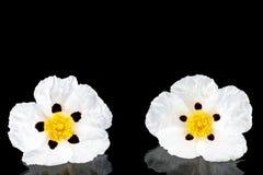 Gum rockrose - Cistus ladanifer Stock Image