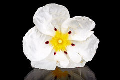Gum rockrose - Cistus ladanifer Royalty Free Stock Images