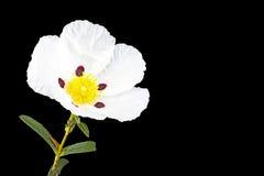 Gum rockrose - Cistus ladanifer Royalty Free Stock Photos