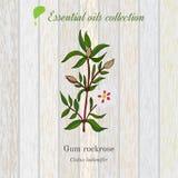 Gum rockrose, essential oil label, aromatic plant Stock Image