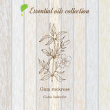 Gum rockrose, essential oil label, aromatic plant Stock Photography