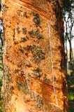Gum of rubber tree. Scratches on trunk of rubber tree to get it's rubber gum Stock Images