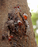 Gum seeping through he bark of a wattle tree. Gum seeping from the bark of a wattle tree Stock Photo