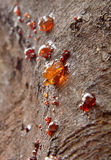Gum seeping through he bark of a wattle tree Stock Photos