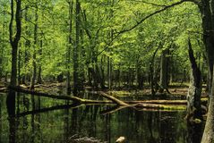 Gum Swamp. Spring, Cades Cove, Great Smoky Mtns NP, TN stock image
