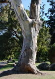 Gum tree. Trunk of an old gum tree in a morning sun Royalty Free Stock Images