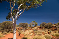 Gum tree Royalty Free Stock Photography