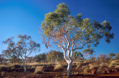 Gum tree. In the Australian Outback Stock Images