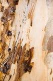 Gum Tree Bark Stock Photography