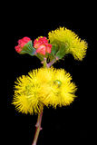 Gum Tree Blossom. The yellow flower and scarlet buds of the Australian Illyarie or Red-Capped Gum Tree, Eucalyptus erythrocorys, one of the most spectacular of stock photography