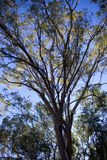 Eucalyptus tree with blue sky Royalty Free Stock Photography