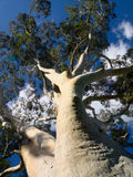 Gum tree and blue sky Royalty Free Stock Photos