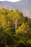 Gum tree bush mountains. A huge gum tree on a mountain during the afternoon in the australian bush Royalty Free Stock Photos