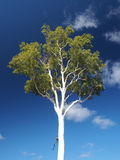 Gum Tree on deep blue sky Royalty Free Stock Image