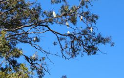 Gum Tree Cookatoo Birds in Queensland Australia including one hanging upside down like a bat. Gum Tree full of Cookatoo Birds in Queensland Australia including royalty free stock photo