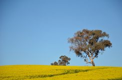 Gum tree growing in a field of yellow canola Stock Photography