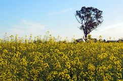 Gum tree growing in a field of yellow canola Stock Image