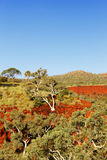 Gum Tree growing on Side of Rock, Canyon, Western Australia Royalty Free Stock Photo