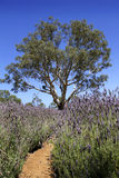 Gum tree among the lavender Stock Photography