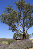 Gum tree among the lavender 3 Royalty Free Stock Image