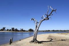 Gum tree   Leschenault Estuary Western Australia Stock Image
