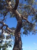 Gum tree. An old gum tree in the bush royalty free stock image