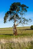 Gum Tree. An old weathered gum tree sitting in a paddock Royalty Free Stock Photos