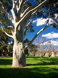 Gum tree in park Stock Photography