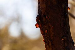 Gum tree sap glowing in the sun. Gum tree sap glowing in the sun on blurred background with copy space royalty free stock photo