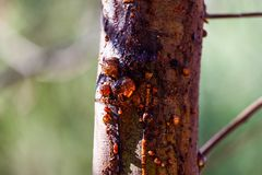 Gum tree sap oozing from trunk. Gum tree sap oozing from trunk on blurred background royalty free stock photography