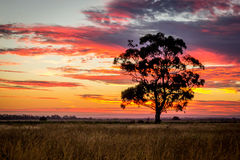 Gum Tree at Sunset, Sunbury, Victoria, Australia, December 2016. A Gum Tree at Sunset, Sunbury, Victoria, Australia stock photos