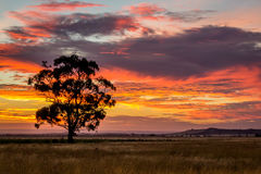 Gum Tree at Sunset, Sunbury, Victoria, Australia, December 2016. A Gum Tree at Sunset, Sunbury, Victoria, Australia stock photo