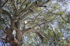 Gum tree Royalty Free Stock Photography