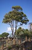 Gum tree. View at gum tree in Sydney, Australia stock images