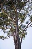 Gum tree. View at gum tree in Sydney, Australia stock photos