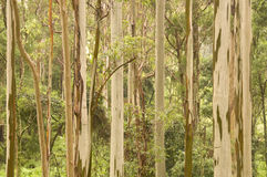 Gum trees Stock Photos