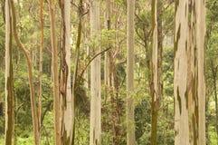 Gum trees. Australian Eucalypt Trees, (gum trees Stock Photos