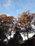 Gum trees in the afternoon sun Stock Photo