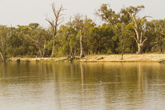 Gum trees along Murray river Royalty Free Stock Photo