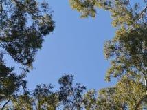 Gum trees in Australia Stock Photography