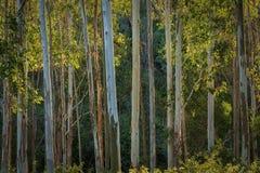 Gum Trees in Australia Stock Images