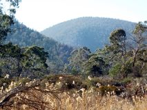 Gum trees. Australian high country gum trees Royalty Free Stock Photo