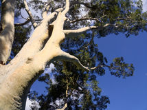 Gum trees and blue skies in melbourne. Gum tree and intense blue sky in melbourne stock image