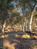Gum trees in the dry Roe creek river bed Stock Photos