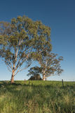 Gum trees on a farm Royalty Free Stock Images