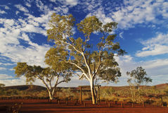 Gum Trees In Karijini Royalty Free Stock Image