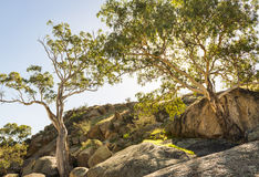 Gum Trees Stock Image