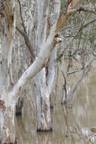 Gum trees reflected in a flooded creek Royalty Free Stock Images